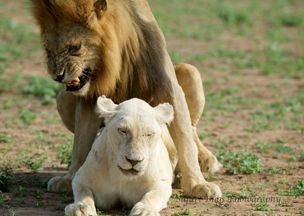 Lion Mating