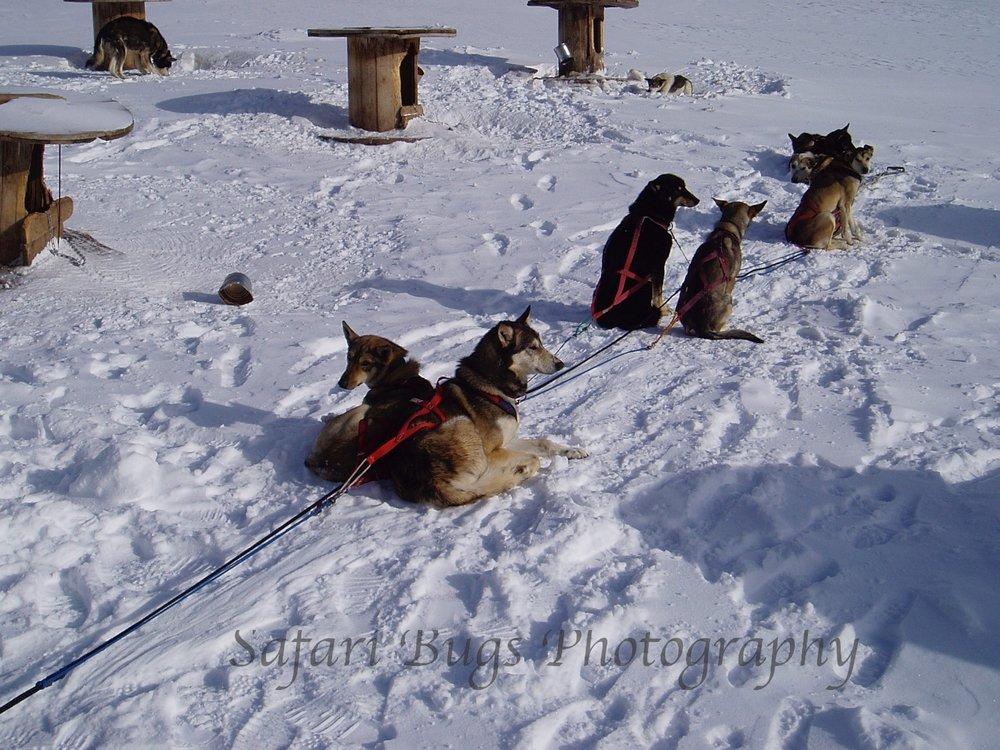 Dog Sledding!