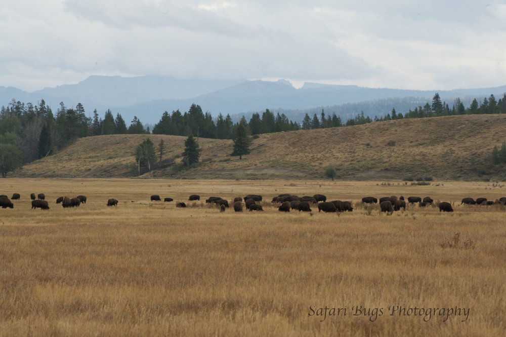 Bison Herd From Afar