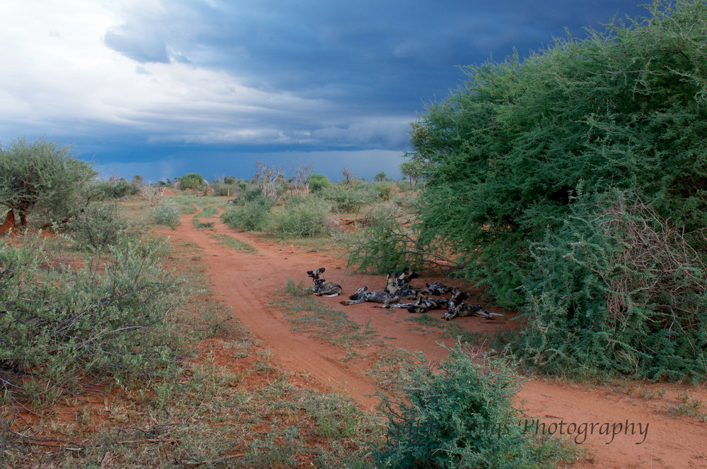 Madikwe Game Reserve is particularly special because it boasts the big five and a pack of wild dogs.