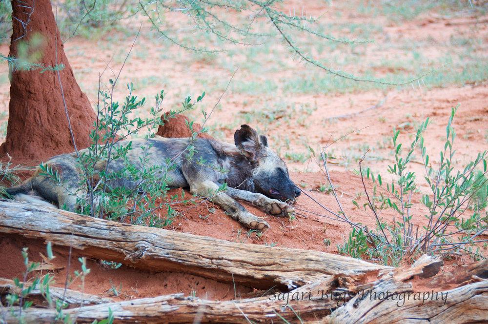 Wild Dog Napping