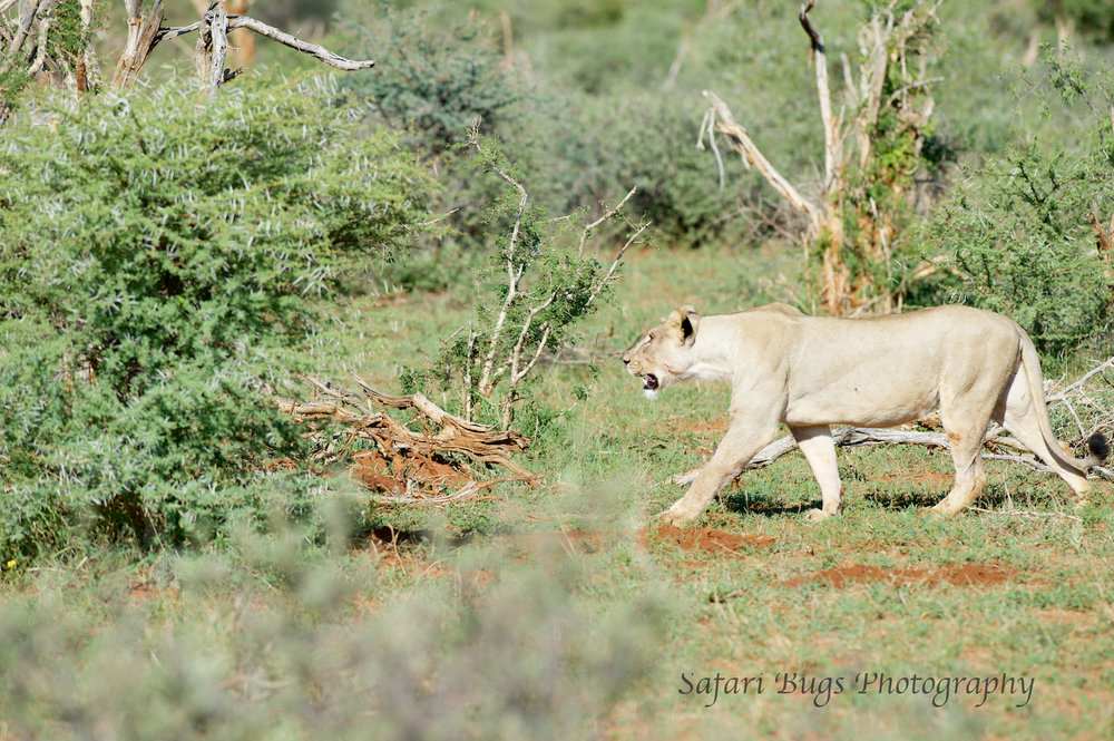 Lionesses decided to move on from their kill to seek out water.