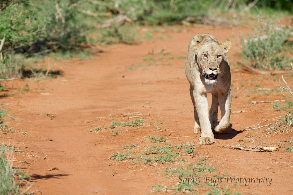 Mateya Lion (5).jpg