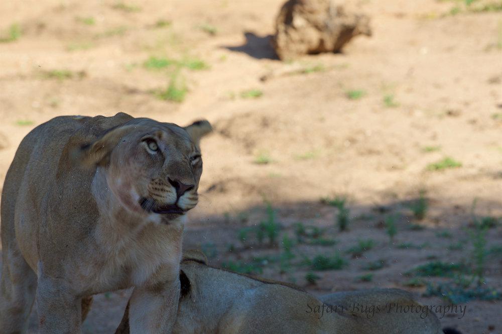 Mateya Lion (11).jpg