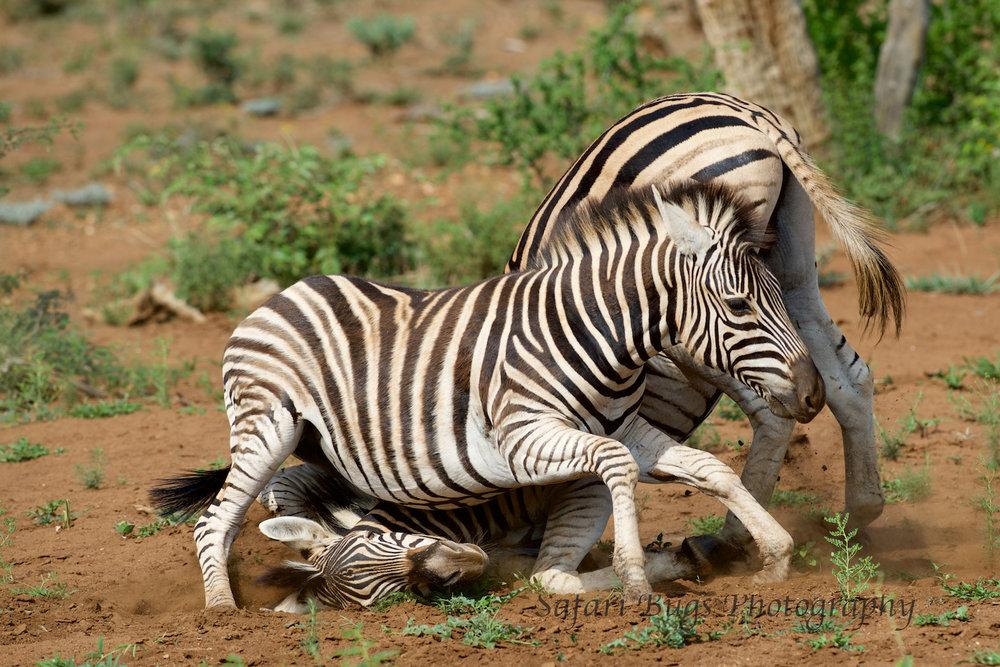 Mateya Zebra (1).jpg