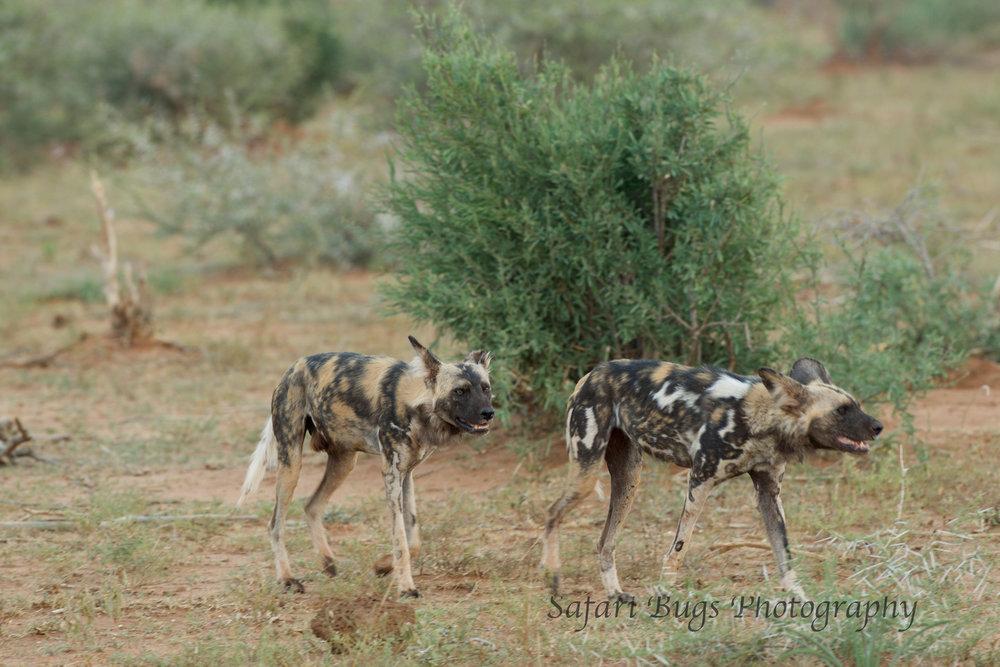 Mateya Wild Dogs (2).jpg