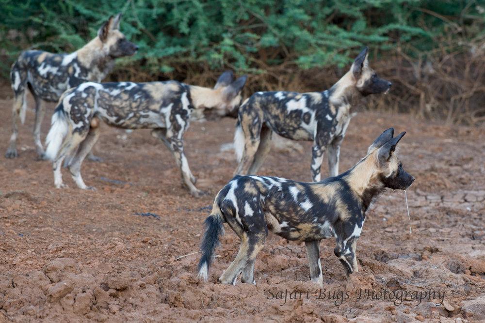 Mateya Wild Dogs (4).jpg
