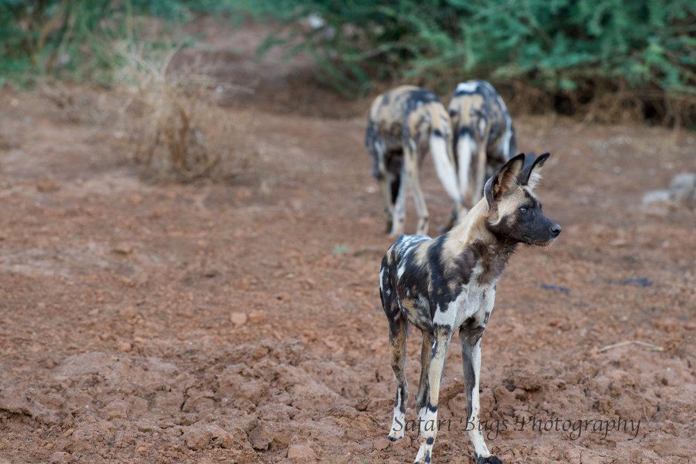 Mateya Wild Dogs (5).jpg