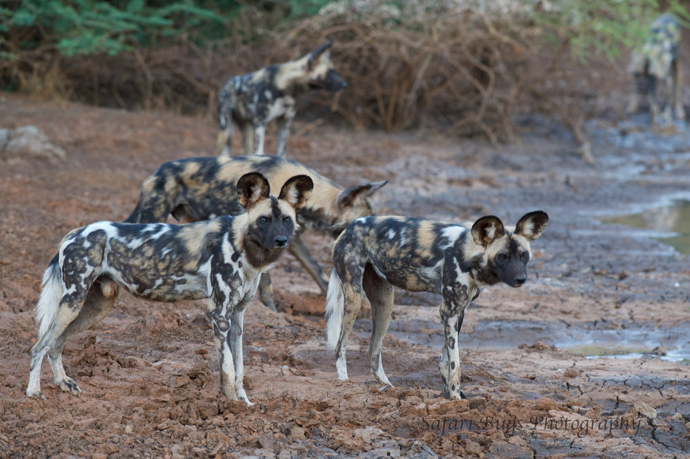Mateya Wild Dogs (6).jpg