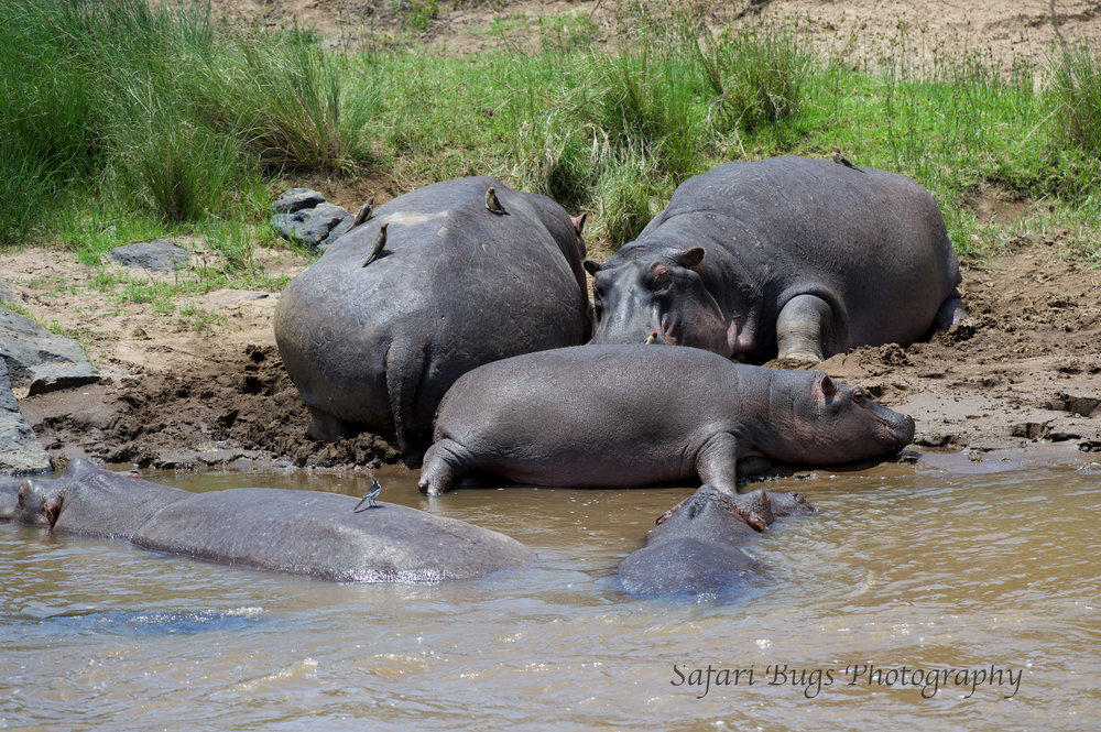 Hippo Mara North.jpg