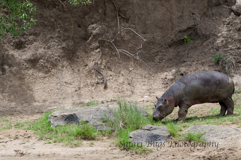 Hippo Mara North (1).jpg