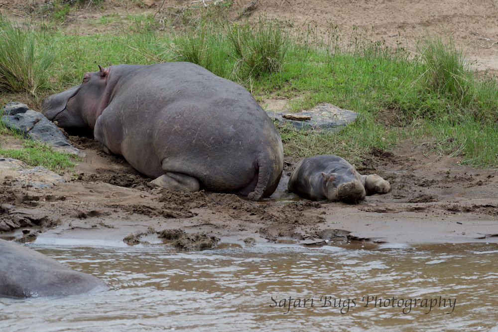Hippo Mara North (3).jpg