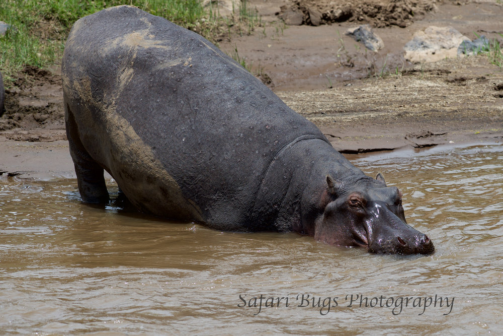 Hippo Mara North (4).jpg