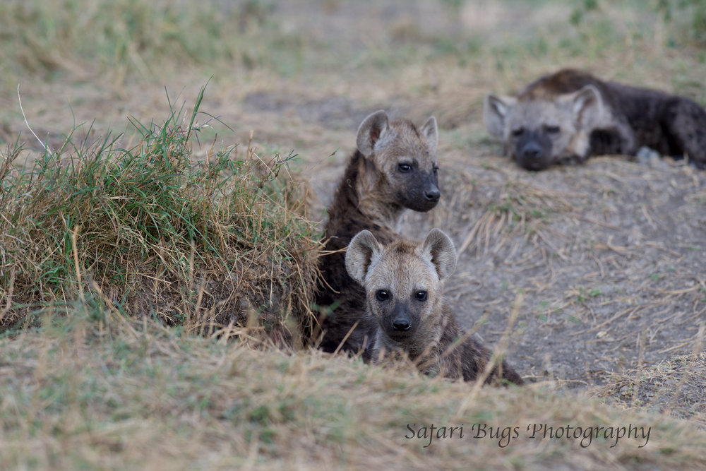Hyena Safari Bugs.jpg