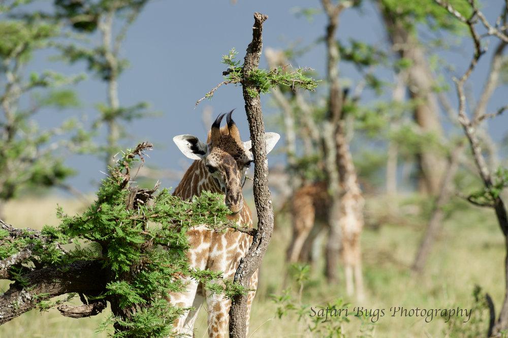 Giraffe Safari Bugs.jpg