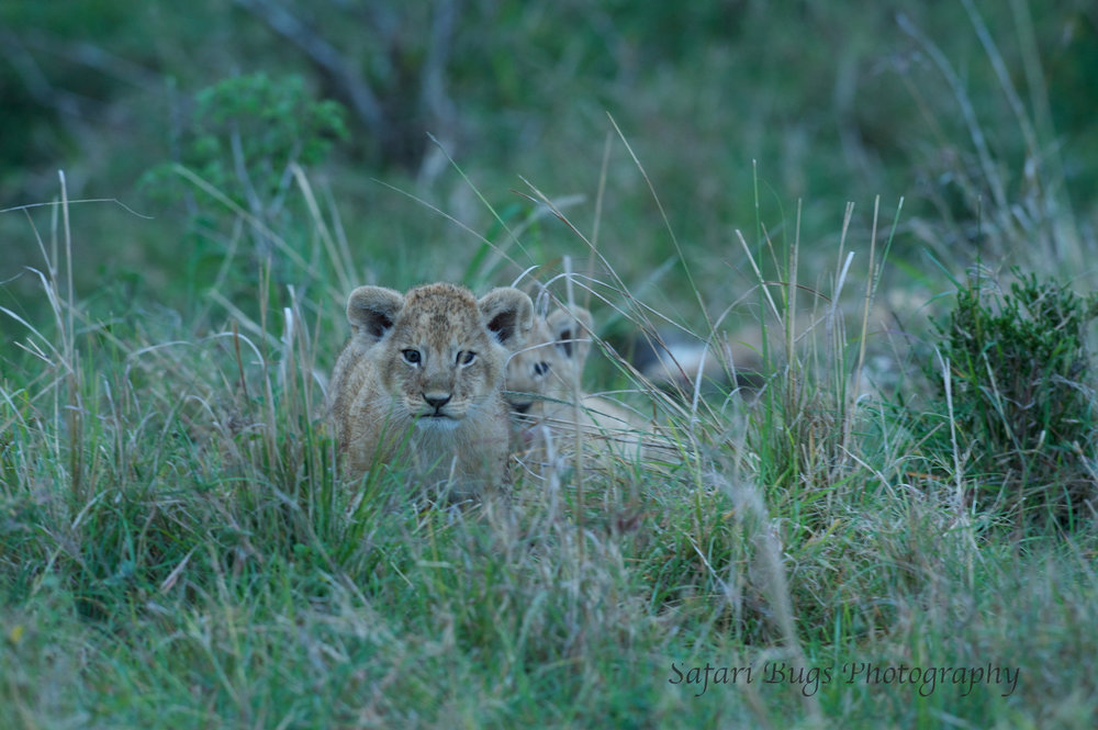 Lion Cubs Safari Bugs (2).jpg