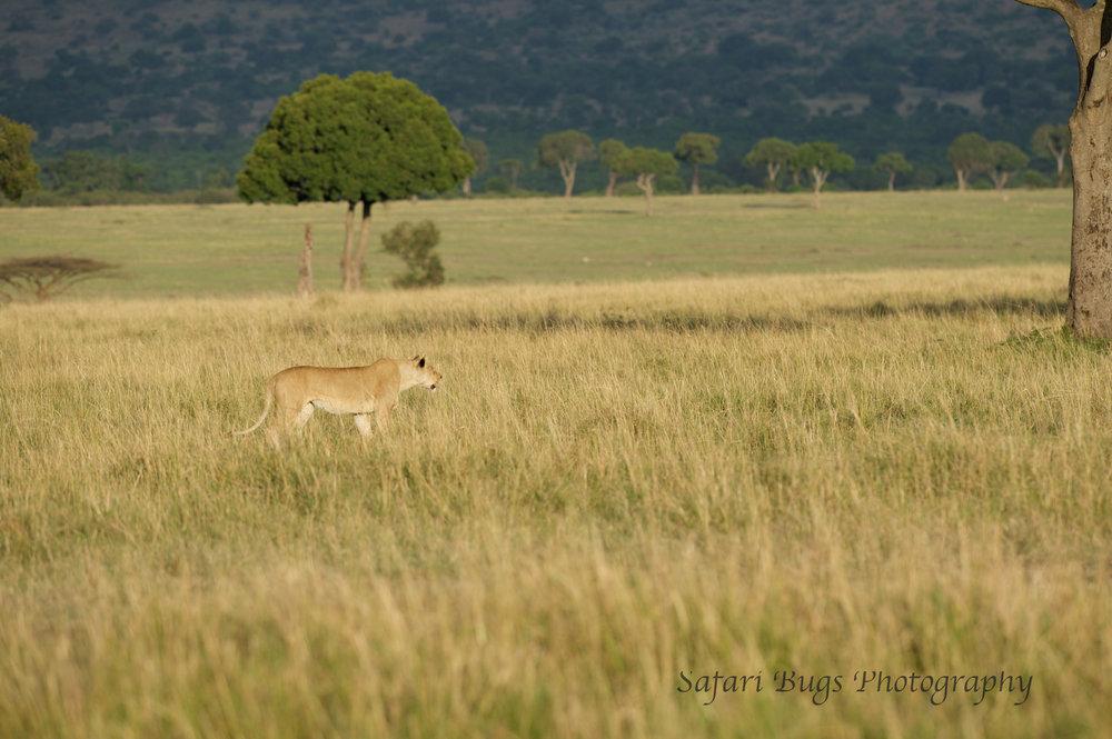 Lioness Safari Bugs.jpg