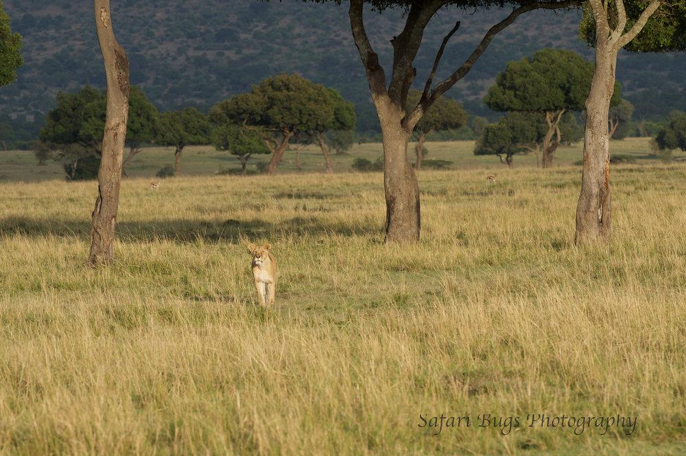 Lioness Safari Bugs (1).jpg