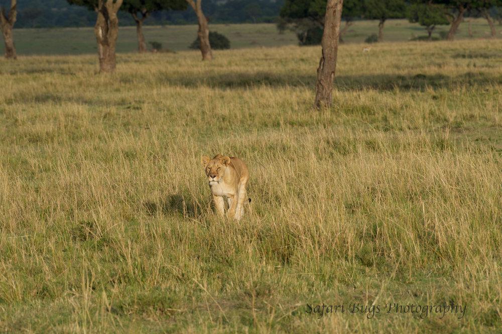 Lioness Safari Bugs (2).jpg