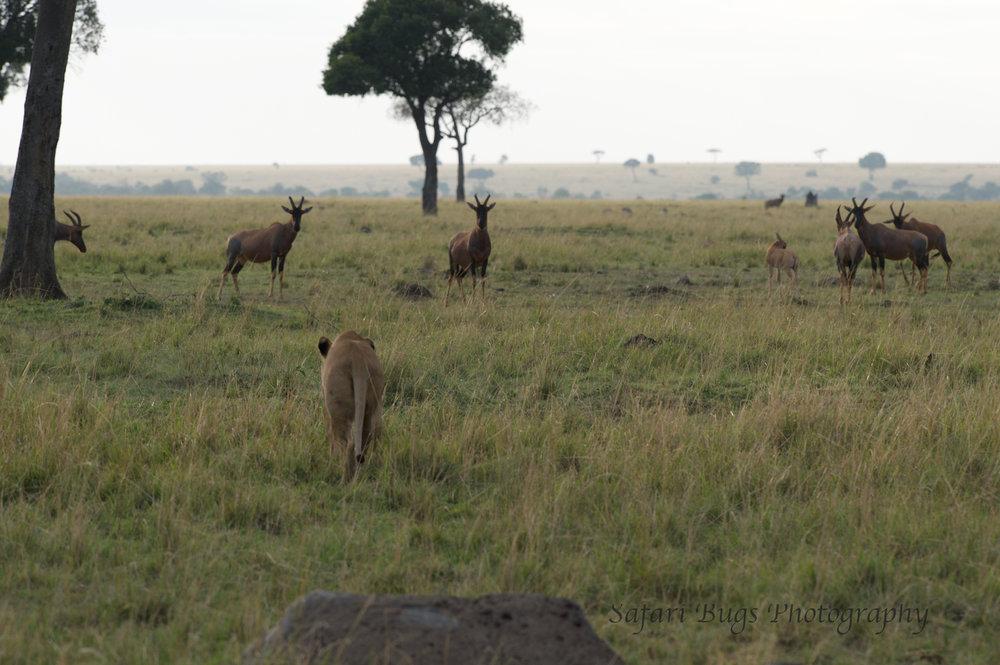 Lioness Safari Bugs (4).jpg