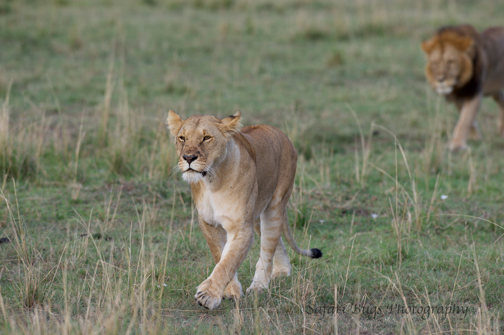 Lioness Safari Bugs (6).jpg