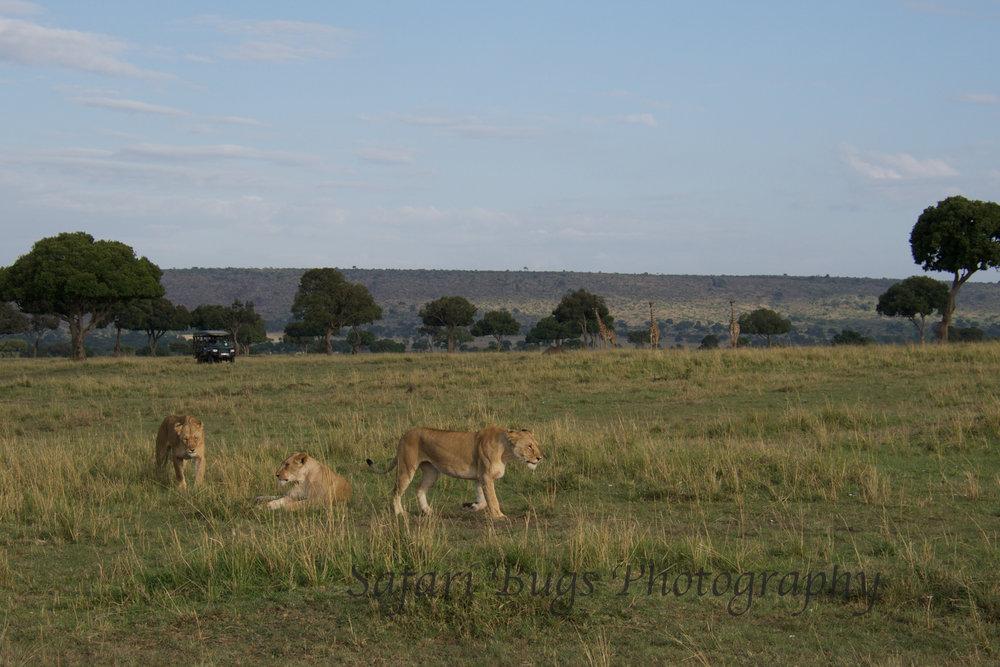 Lions Safari Bugs.jpg