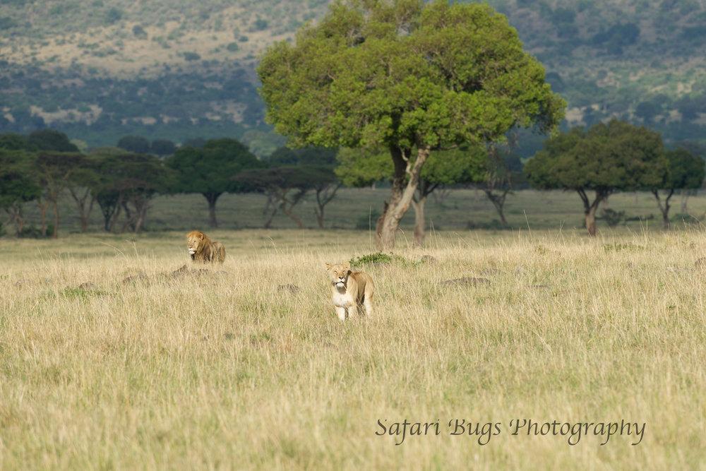 Lions Safari Bugs (1).jpg