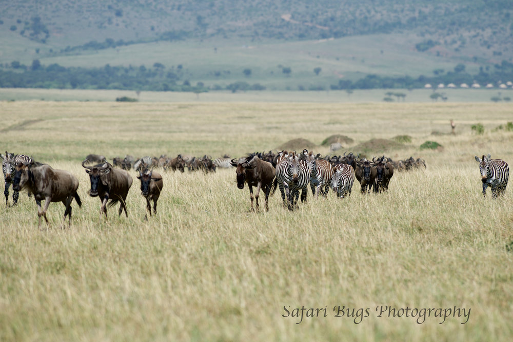 Zebra and Wildebeest Safari Bugs.jpg