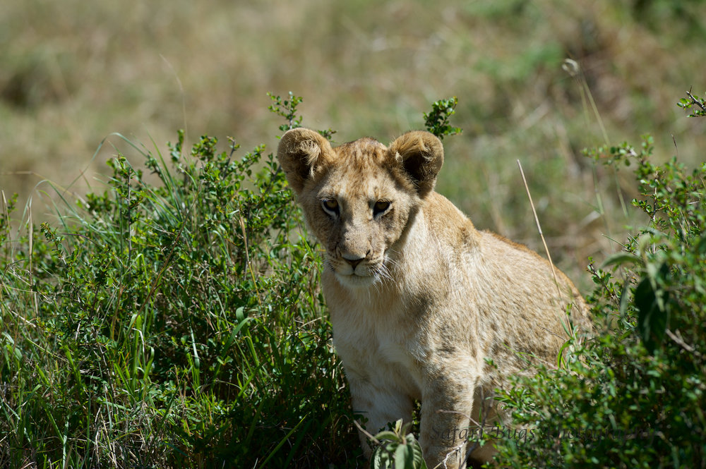 Lion Cub Safari Bugs.jpg