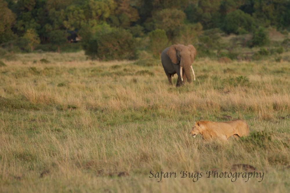Lion and Elephant Safari Bugs.jpg