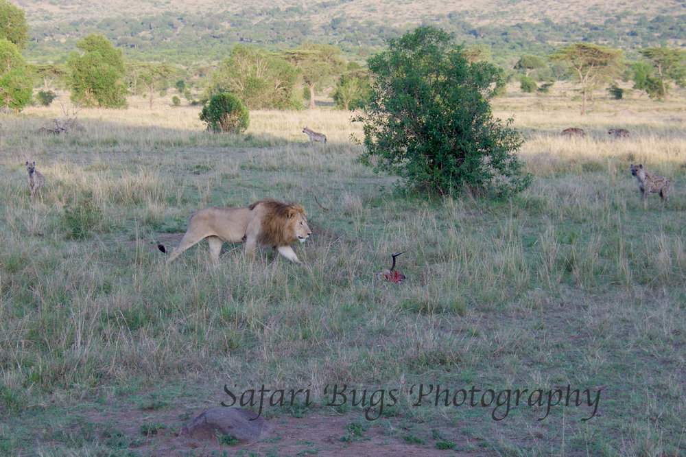 Lion & Hyena.jpg