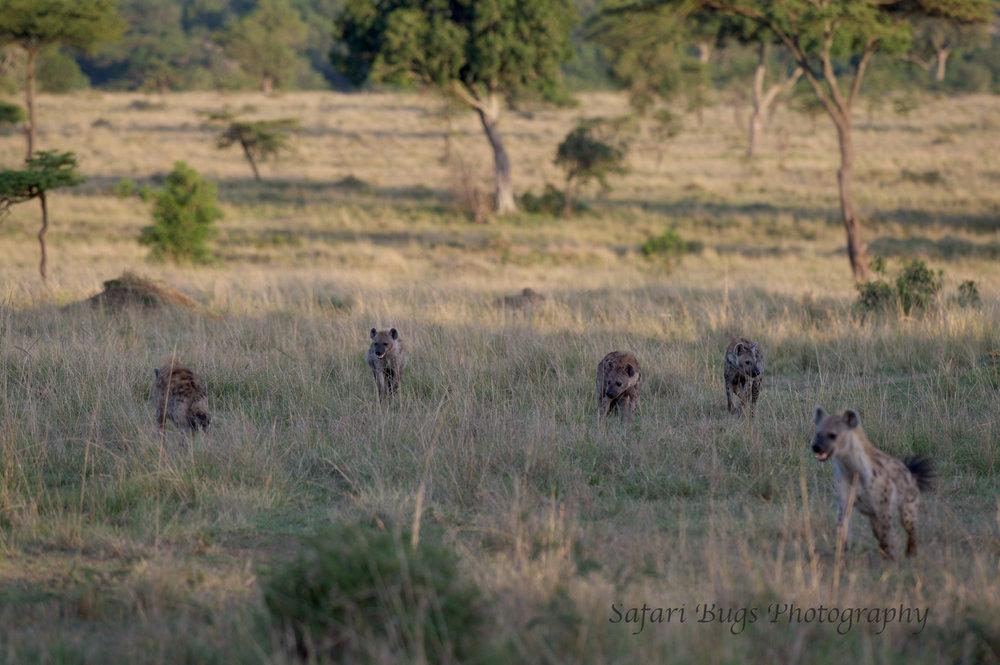 Hyenas (1).jpg
