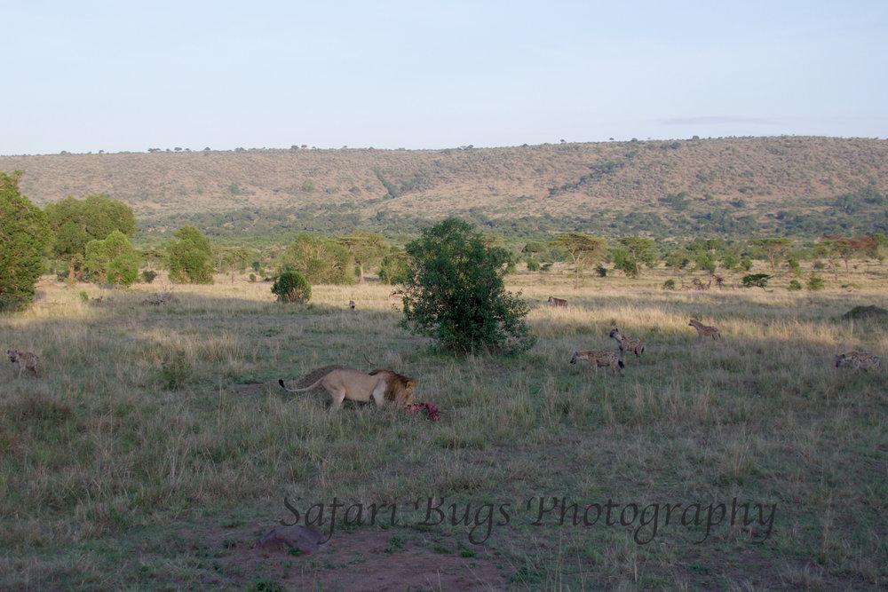 Lion & Hyenas.jpg