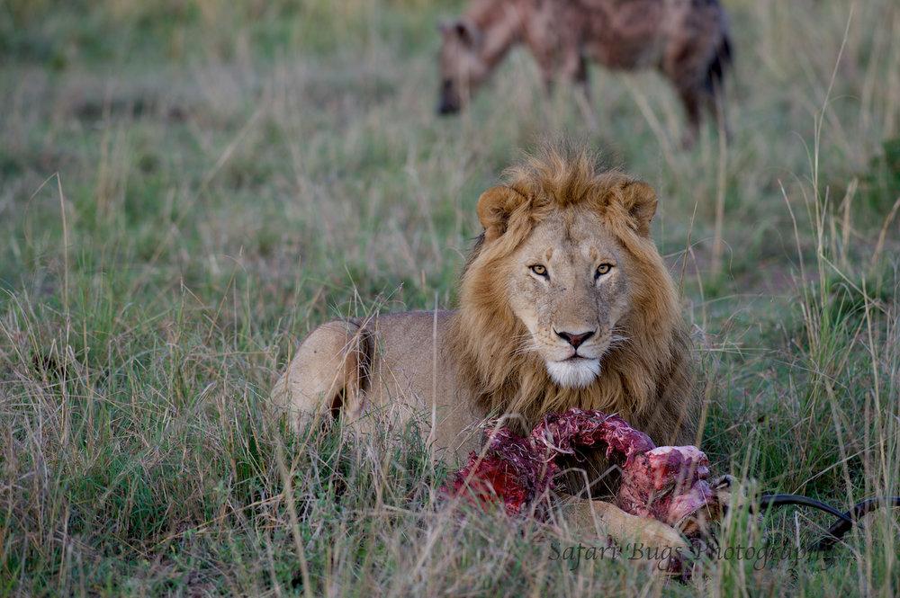 Lion & Hyena (1).jpg