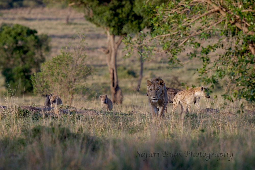 Lion & Hyena (2).jpg