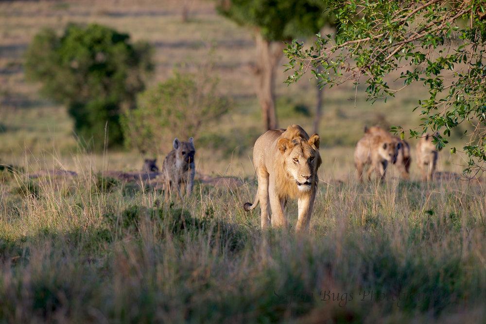 Lion & Hyena (3).jpg