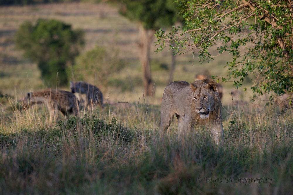 Lion & Hyena (4).jpg