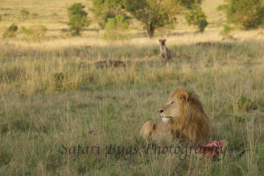 Lion & Hyena (5).jpg