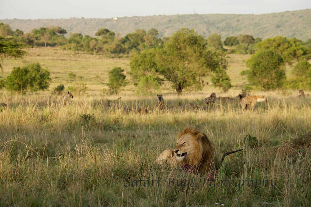 Lion & Hyenas (1).jpg