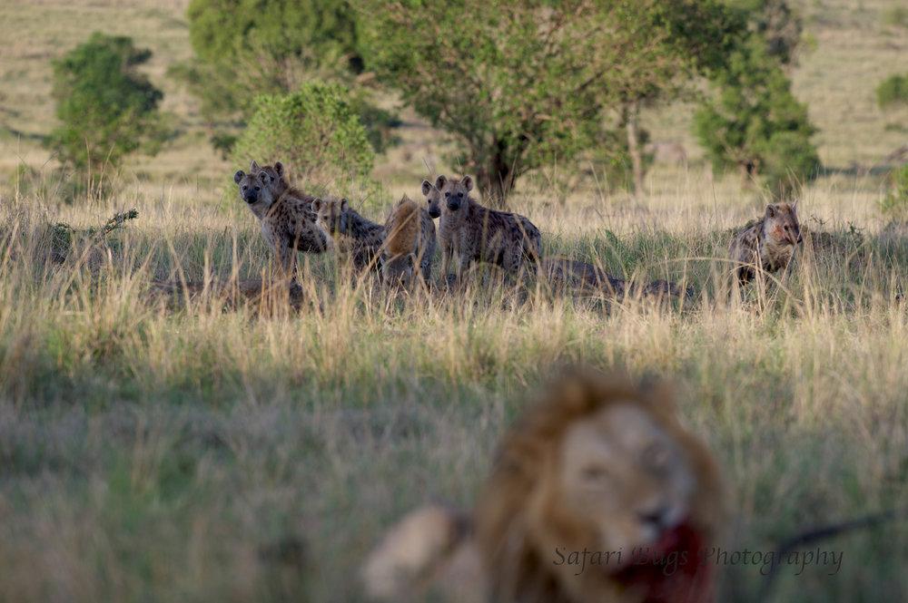 Lion & Hyenas (2).jpg