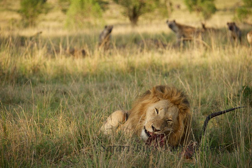 Lion & Hyenas (3).jpg