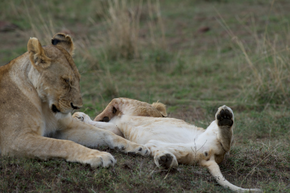 Sleeping Lions Safari Bugs.jpg