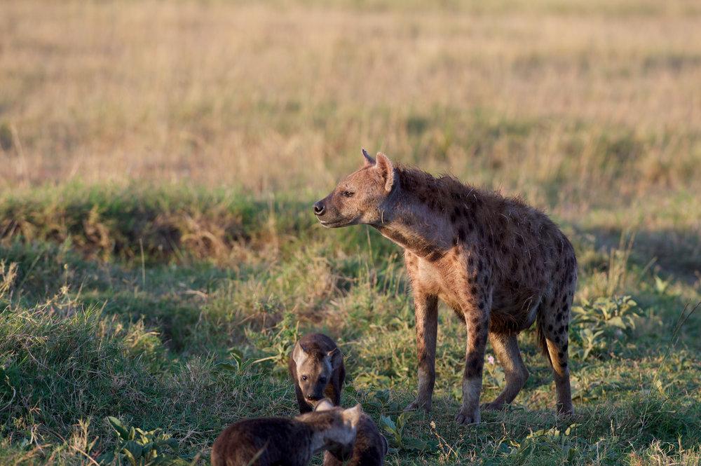 Hyena Safari Bugs (1).jpg