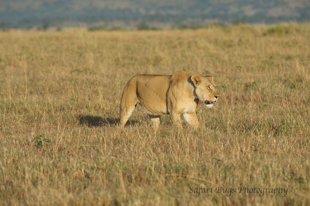 Lioness Safari Bugs (9).jpg