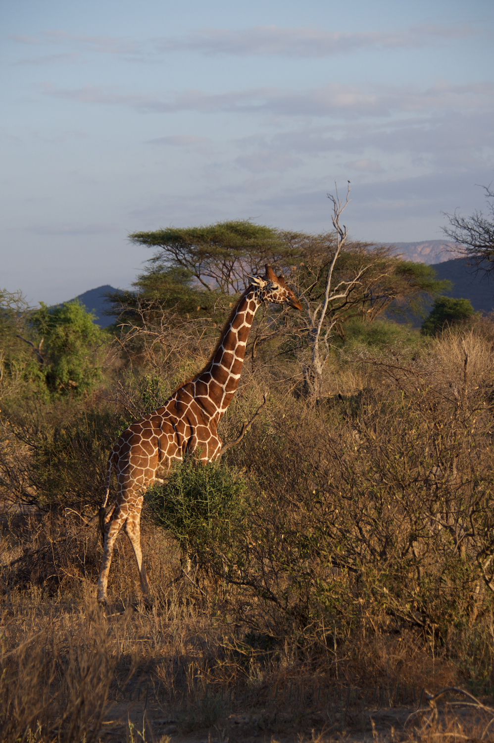 The reticulated giraffe found in northern Kenya.