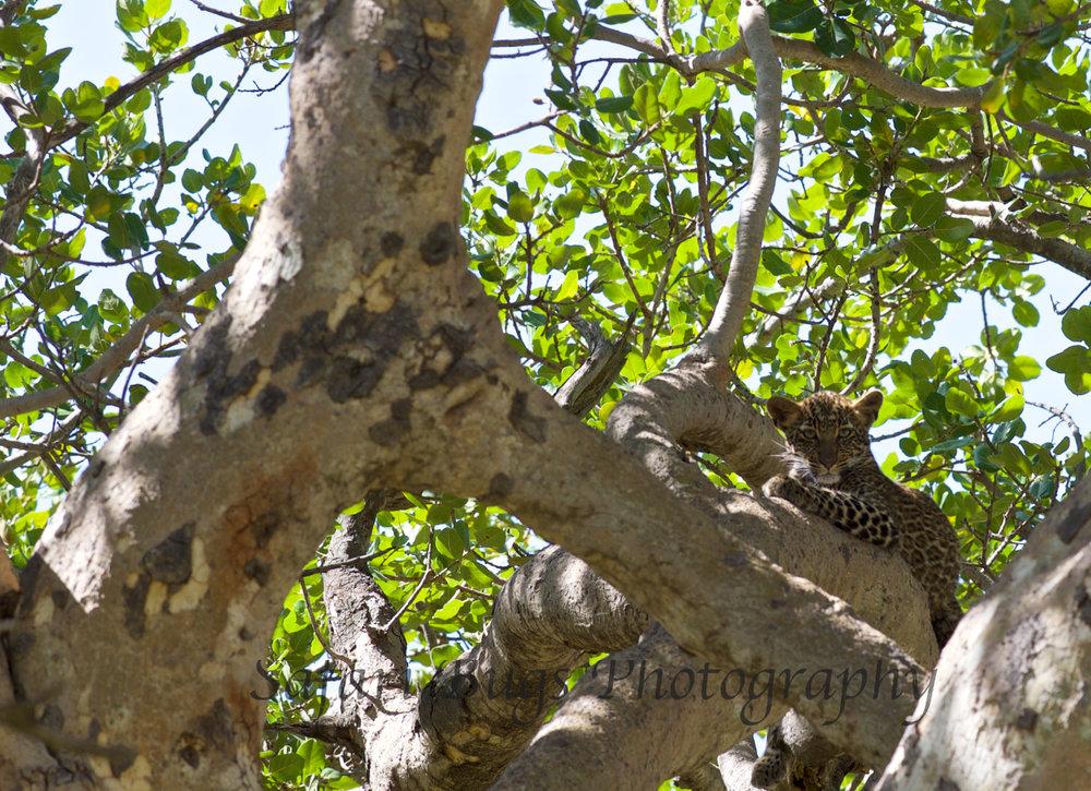Safari Bugs Bushtops Leopard.jpg