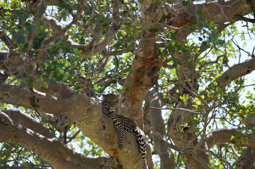 Safari Bugs Bushtops Leopard (1).jpg