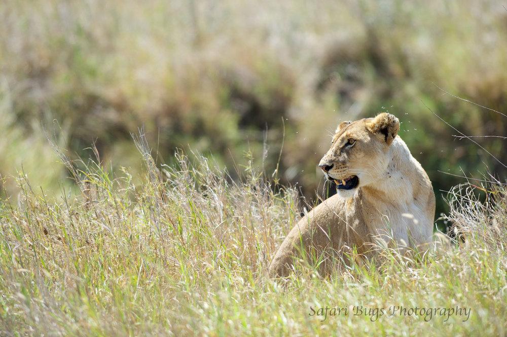 Safari Bugs Roving Bushtops (2).jpg