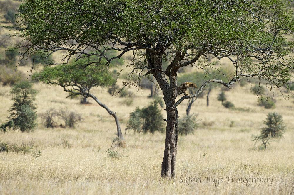 Safari Bugs Roving Bushtops (6).jpg