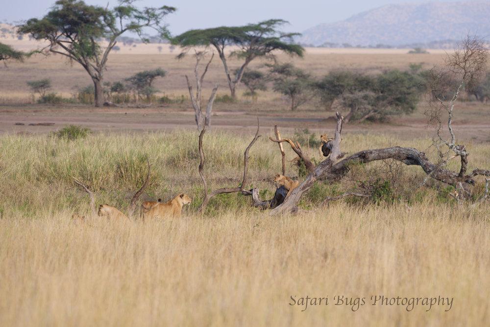 Safari Bugs Roving Bushtops (9).jpg